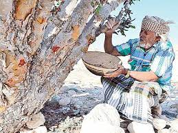 Prized Omani frankincense trees under threat | Environment – Gulf News